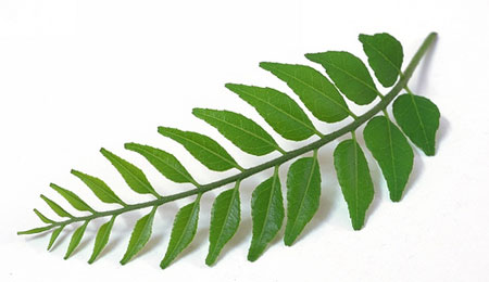 Curry leaves to control hair fall and promote hair growth