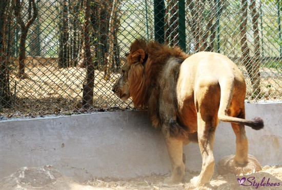 Lion king at bannerghatta national park
