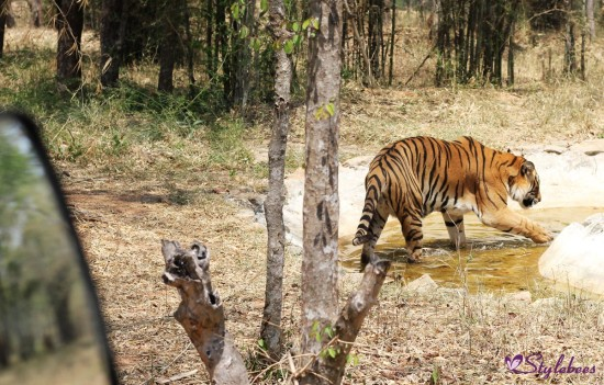 Tiger safari at bannerghatta national park